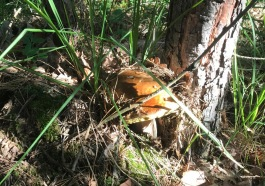 grzybobranie-tarnobrzeg-12